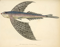 The Flying Fish, (Exocoetus evolvans)